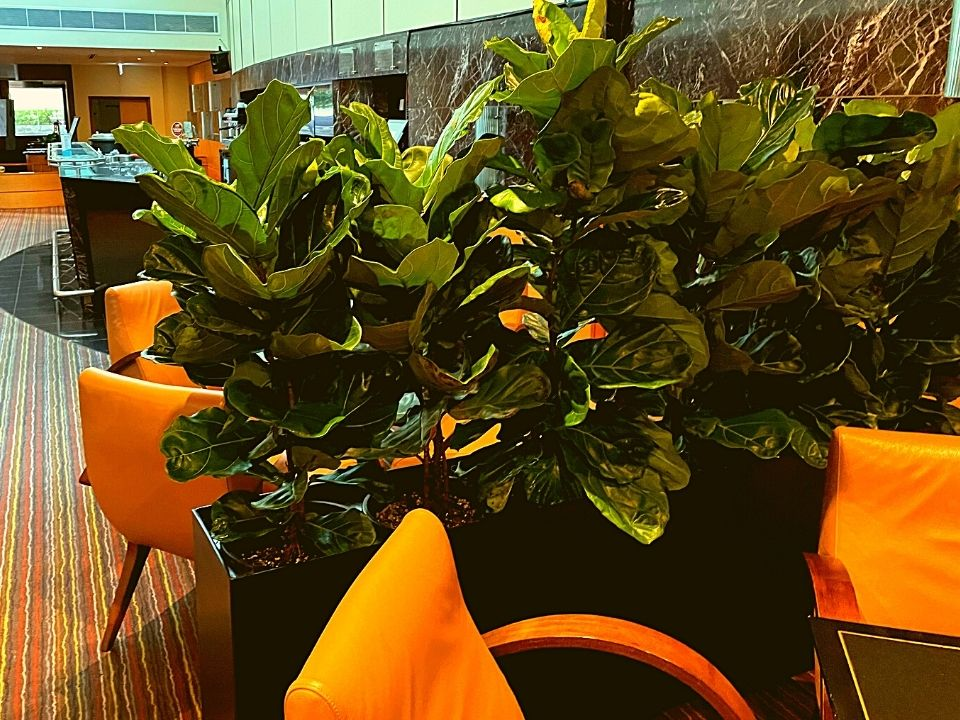 Indoor Plant Hire Trough on Wheels