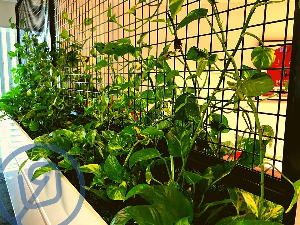Indoor Plant Hire Custom Joinery Cage Climbing Pothos