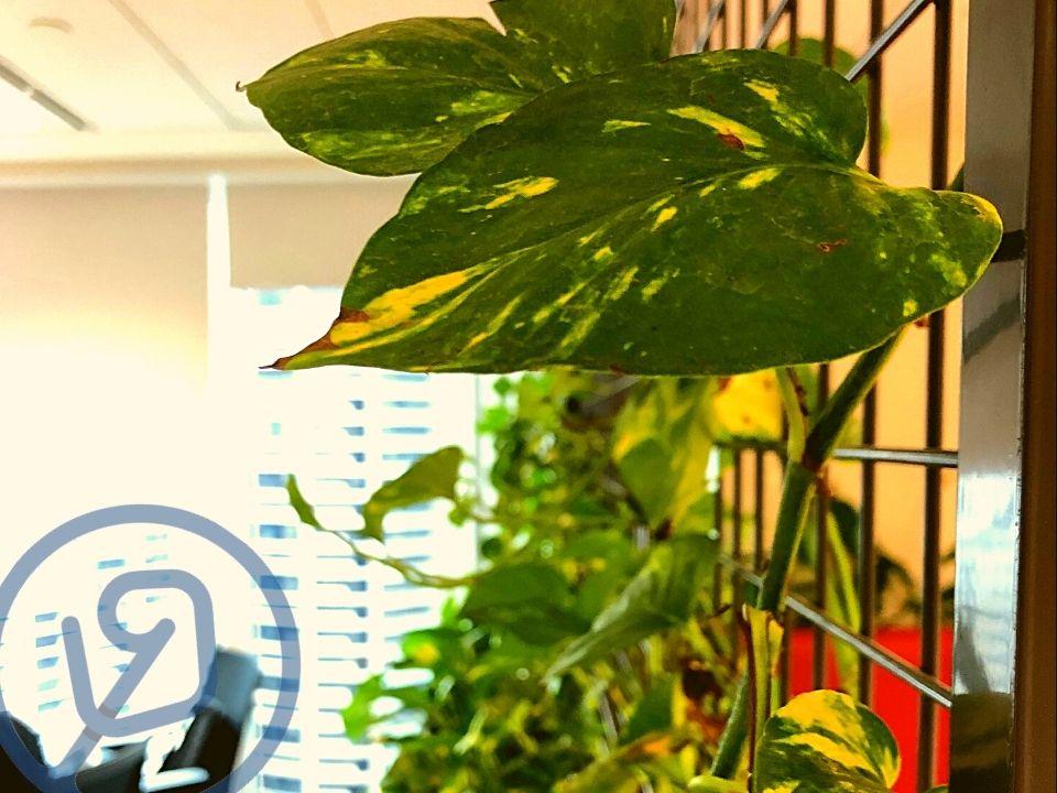 Pothos Climbing Indoor Plant Hire